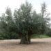樹齢千年のオリーヴ大樹を観に行こう!【特集:小豆島 オリーブを巡る旅】