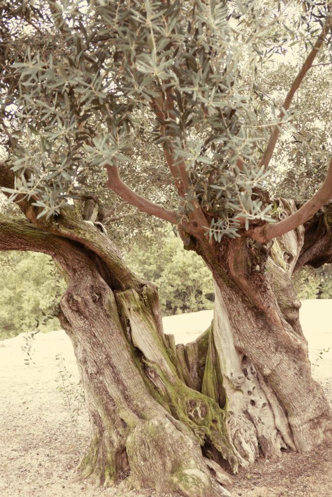 樹齢千年のオリーブの大樹
