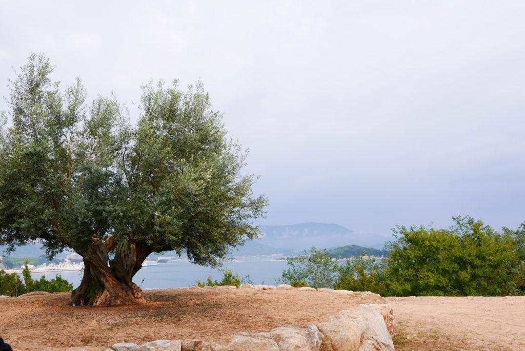 樹齢千年のオリーブの樹